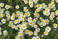 A beautiful daisies field Royalty Free Stock Photo