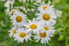 Beautiful daisies. Stock Photo