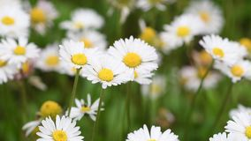 Beautiful daisies in the garden swaying in the wind. Soft focus. 4K Ultra HD Video stock video