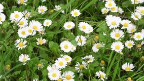 Beautiful daisies in the garden swaying in the wind. Soft focus. 4K Ultra HD Video stock footage