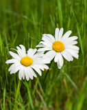 Beautiful daisies growing. In a green meadow Royalty Free Stock Image