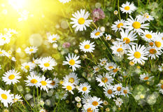 Beautiful daisies illuminated by the sun Royalty Free Stock Photo