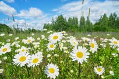 Beautiful daisies on  meadow. Summer landscape with flowering daisies on  meadow Stock Photo