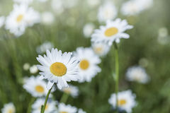 Beautiful daisies in the morning sunlight Royalty Free Stock Photos