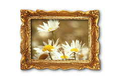 Beautiful daisies in old painting frame Stock Images