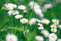 Beautiful daisies in spring green grass royalty free stock image