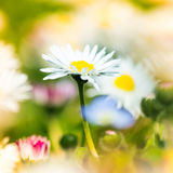 Beautiful daisies in spring meadow Stock Photos