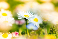 Beautiful daisies in spring meadow Stock Images