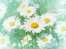 Beautiful daisies Stock Photography