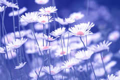 Beautiful daisies on a tinted blue background. Selective soft focus Royalty Free Stock Photography