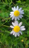 beautiful daisies in winter among very greenish leaves stock photo