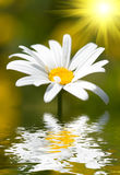 Beautiful daisy Royalty Free Stock Images