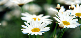 Beautiful Daisy. A couple of beautiful daisies with natural colors Stock Image