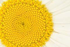 Beautiful daisy Royalty Free Stock Photography
