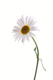 Beautiful daisy. On isolated white background Royalty Free Stock Photo