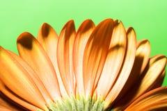 Beautiful daisy Stock Photo