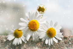Beautiful daisy. Beautiful postcard with daisy and magic stars Stock Photography