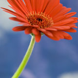 Beautiful daisy against the sky Stock Photos
