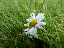 Beautiful Daisy. A Beautiful daisy alone in the grass Stock Photo