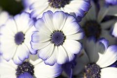 Beautiful Daisy Royalty Free Stock Photo
