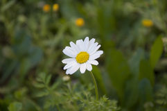 Beautiful daisy(Bellis perennis)in garden. This simply and  in the same time beautiful flower associates with innocence and child. Photo was taken in garden near Royalty Free Stock Image