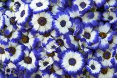 Beautiful Daisy Royalty Free Stock Images