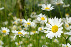 Beautiful daisy close-up on a sunny day in the meadow  (peace, h Stock Photography