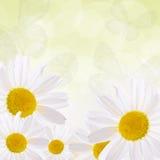 The beautiful daisy close up Stock Image