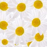 The beautiful daisy close up Royalty Free Stock Photography