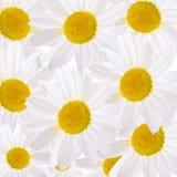 The beautiful daisy close up Royalty Free Stock Photography