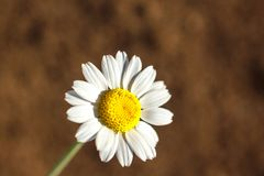 Beautiful Daisy closeup with copy space background for lettering royalty free stock photos