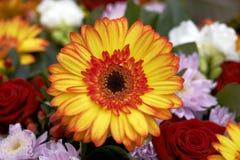 Beautiful Daisy Stock Images