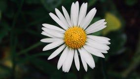 Beautiful daisy Stock Photography