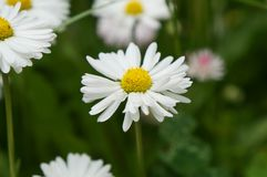 Beautiful daisy in the field. Beautiful daisy flowers close-up, horizontal photo, walpapper Royalty Free Stock Photos