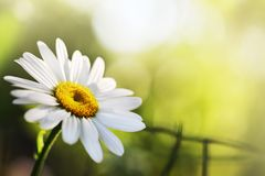 Beautiful Daisy Flower Royalty Free Stock Photo
