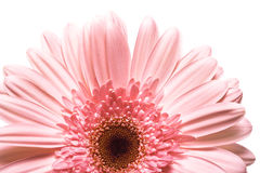 Beautiful Daisy Flower Stock Photo