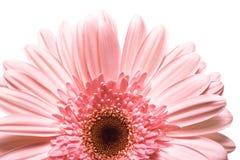 Beautiful Daisy Flower stock photo