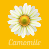 Beautiful daisy flower camomile. Beautiful daisy flower camomile on yellow. Vector illustration Royalty Free Stock Image