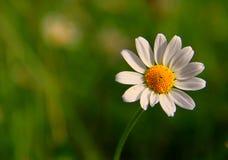 Beautiful daisy flower Royalty Free Stock Photography