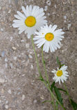 Beautiful daisy flower. Close up Royalty Free Stock Photo