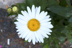 Beautiful daisy flower Stock Images
