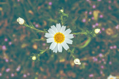 Beautiful Daisy flower in the field. Beautiful  Daisy flower in the field Royalty Free Stock Photo