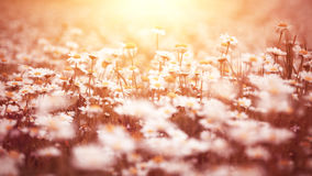 Beautiful daisy flower field royalty free stock images