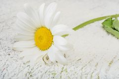 Chamomile flower on wooden background Stock Image