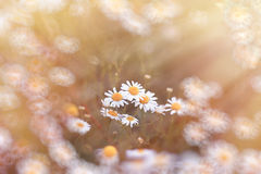 Beautiful daisy flower in meadow Royalty Free Stock Photography