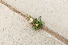 Beautiful daisy flower placed in gap between concrete plates. stock photo