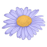 Beautiful daisy flower  on white background. Royalty Free Stock Photography