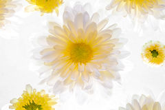 Beautiful daisy flower on the white background Stock Photography
