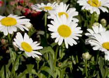 Beautiful daisy flowers. In the garden of France stock image