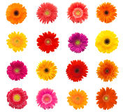 Beautiful daisy flowers. Lots of beautiful colorful daisy flowers on white Stock Photos